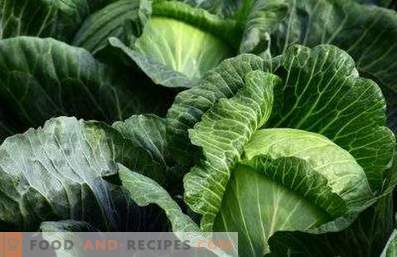 White cabbage: benefits and harm to the body
